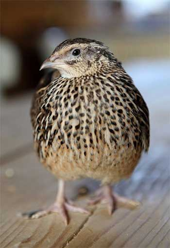 Japanese quail, Coturnix Japanica, have been introduced in India as an alternative to chickens